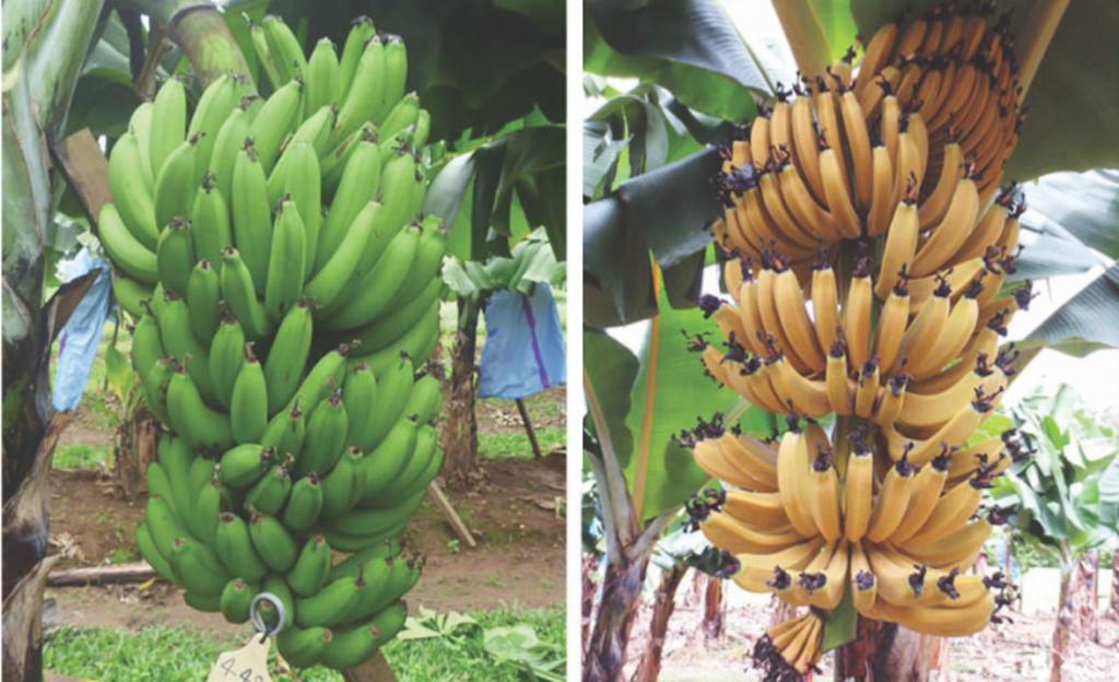 bananos OMG